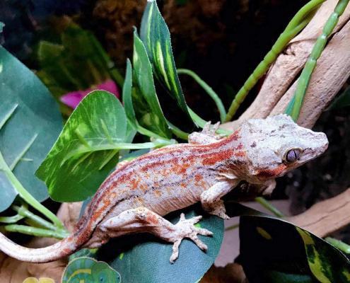 adult gargoyle gecko for sale