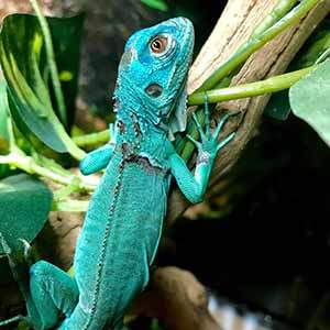 Iguana For Sale Baby Iguanas For Sale Near Me Blue Iguana Breeder Rhino