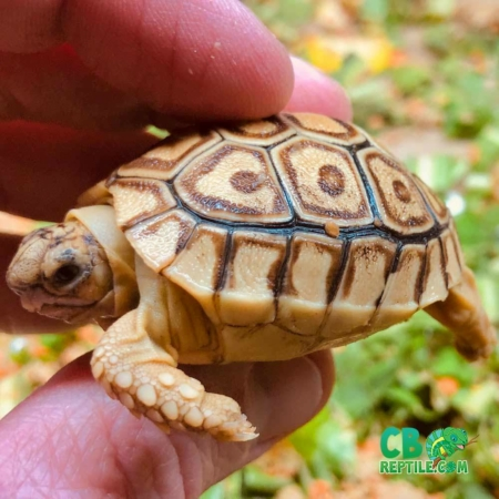 caramel leopard tortoise