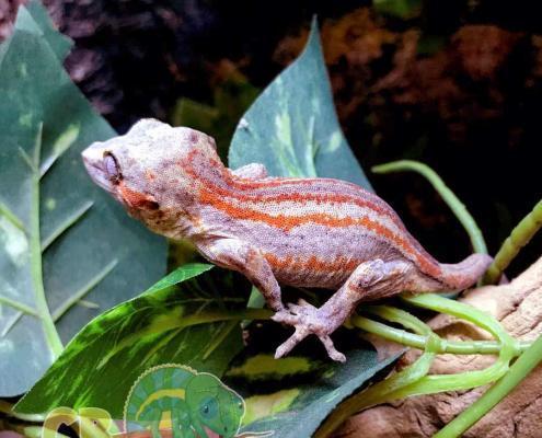 female gargoyle gecko for sale