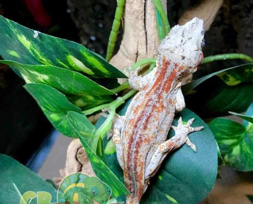 male gargoyle gecko for sale