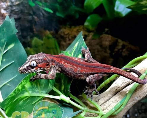red super stripe gargoyle gecko