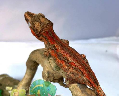 red gargoyle gecko for sale