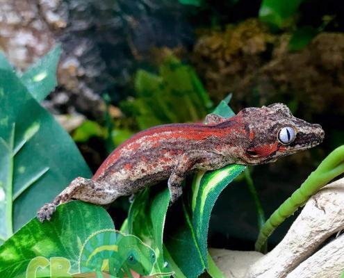 red super stripe gargoyle gecko