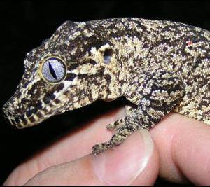 reticulated gargoyle gecko for sale