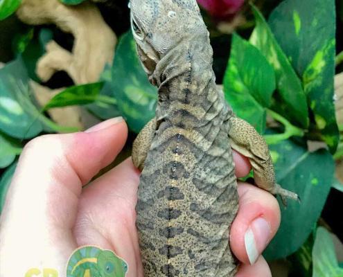rhino iguana breeders