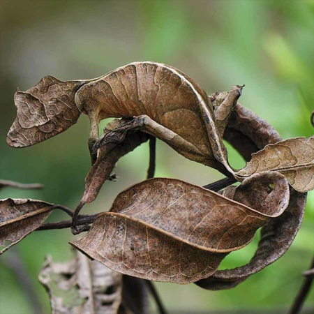 satanic leaf tail gecko for sale