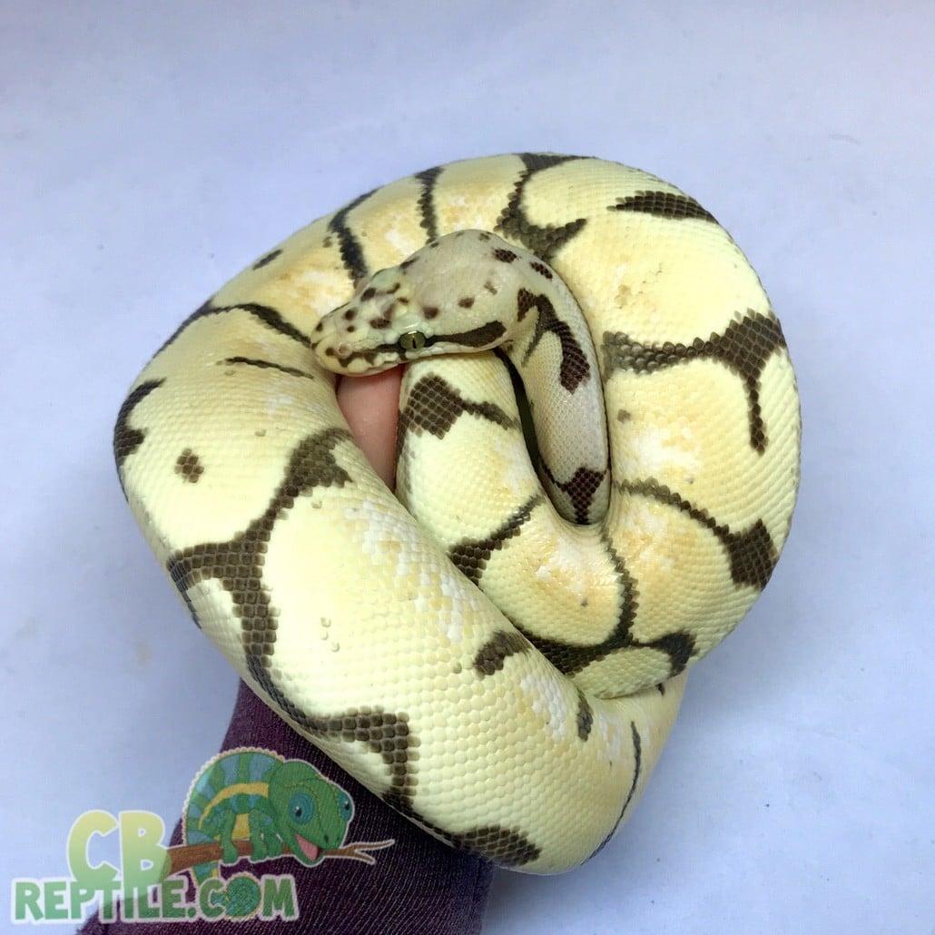 bumblebee desert ghost ball python