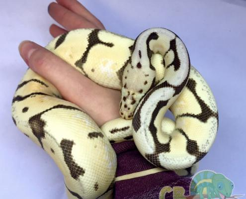 bumblebee desert ghost ball python for sale