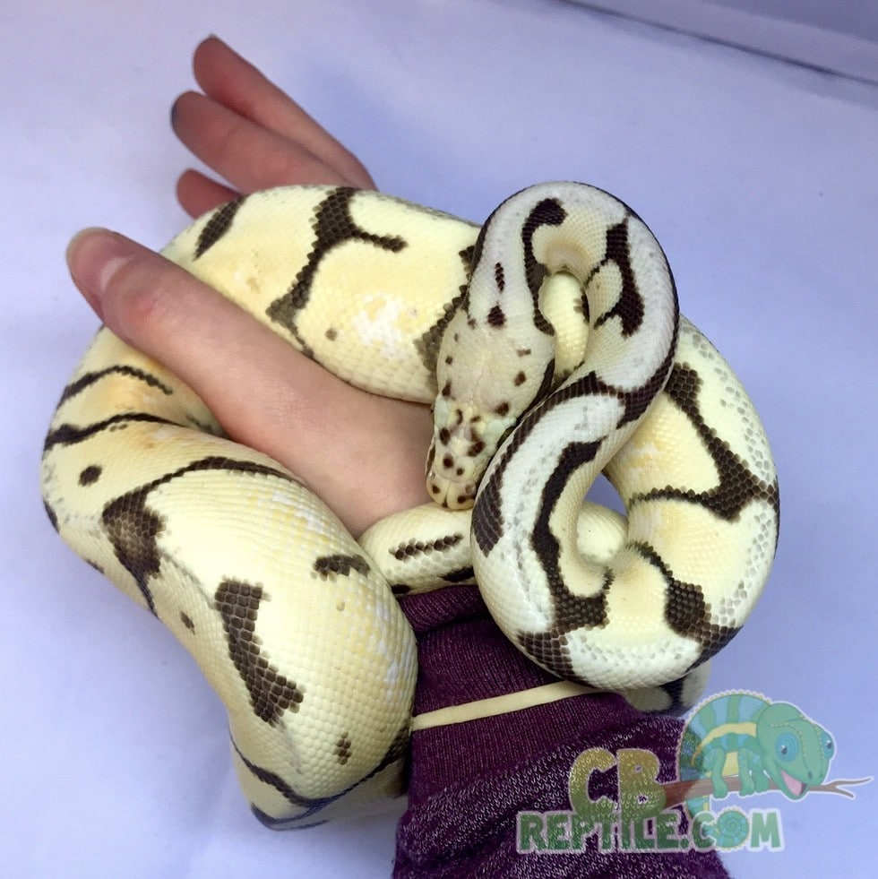 bumblebee desert ghost ball python for sale