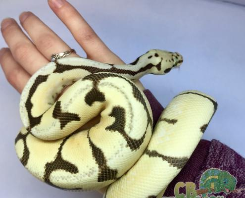 male bumblebee ball python for sale