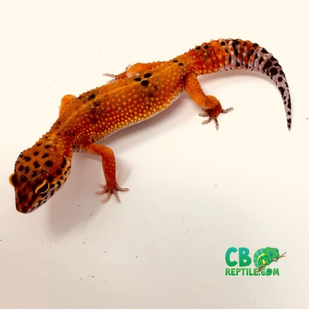 blood leopard gecko for sale