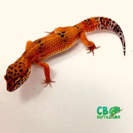 blood leopard gecko for sale