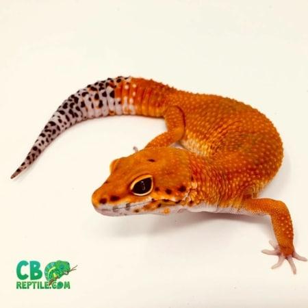 blood leopard gecko