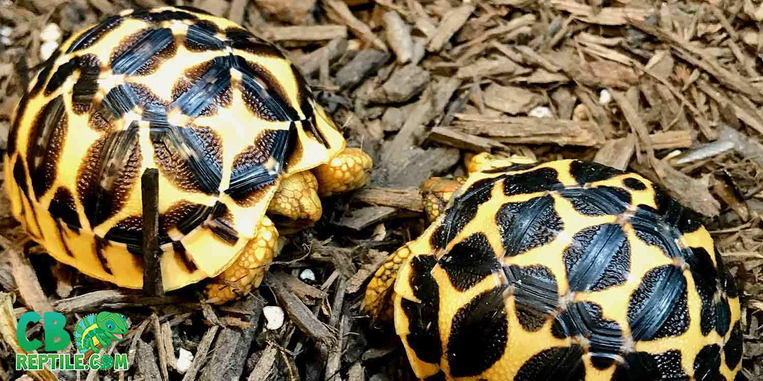 Indian Star Tortoise For Sale Baby Indian Star Tortoise