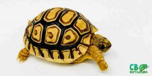 leopard tortoise care guide
