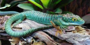Abronia Lizard for sale