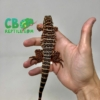 baby red Tegu