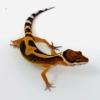blood emerine leopard geckos