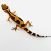 Emerine leopard gecko for sale