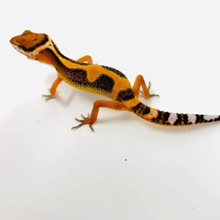 blood emerine leopard gecko