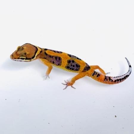 inferno leopard geckos