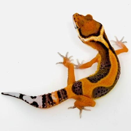 striped emerine leopard gecko