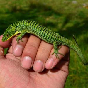 Abronia for sale