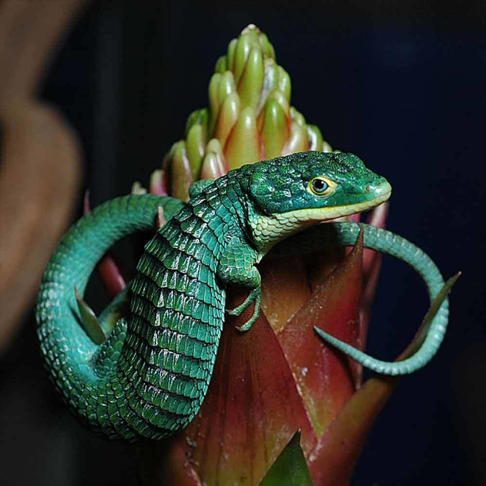 Abronia Graminea for sale