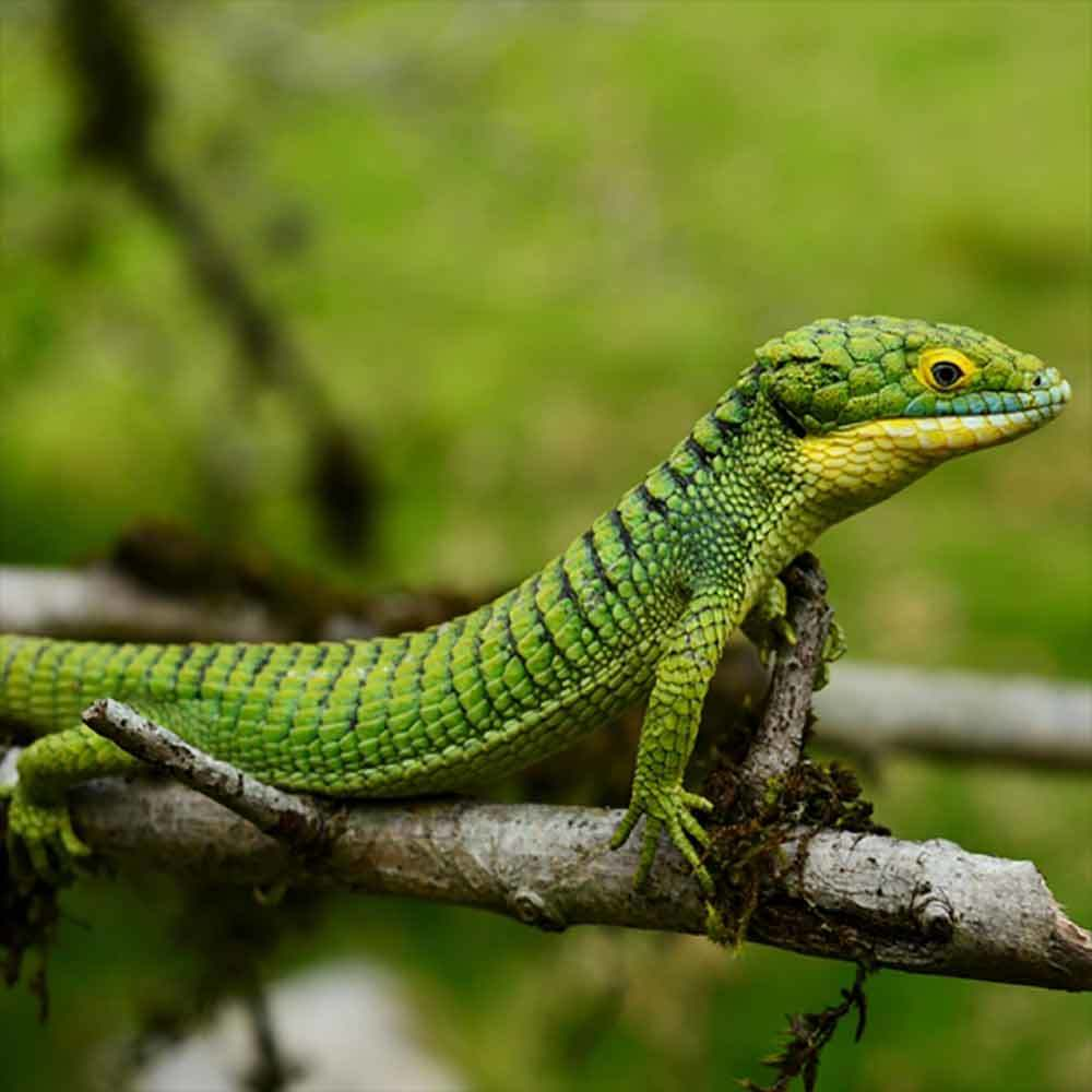 Abronia Graminea lizard for sale