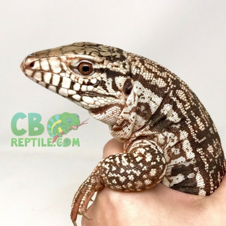 argentine-red-tegu-for-sale