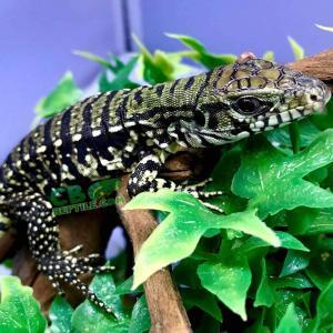 Argentine tegu for sale