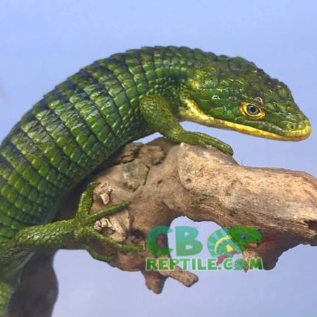 baby abronia for sale
