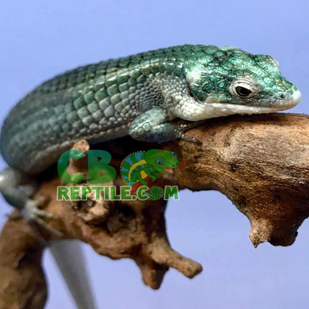 blue Abronia Graminea for sale