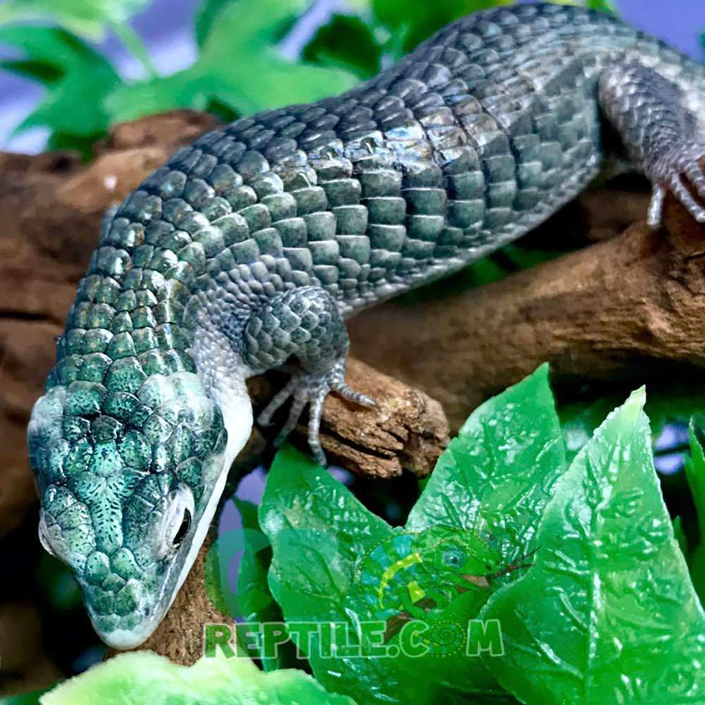 blue Abronia Graminea