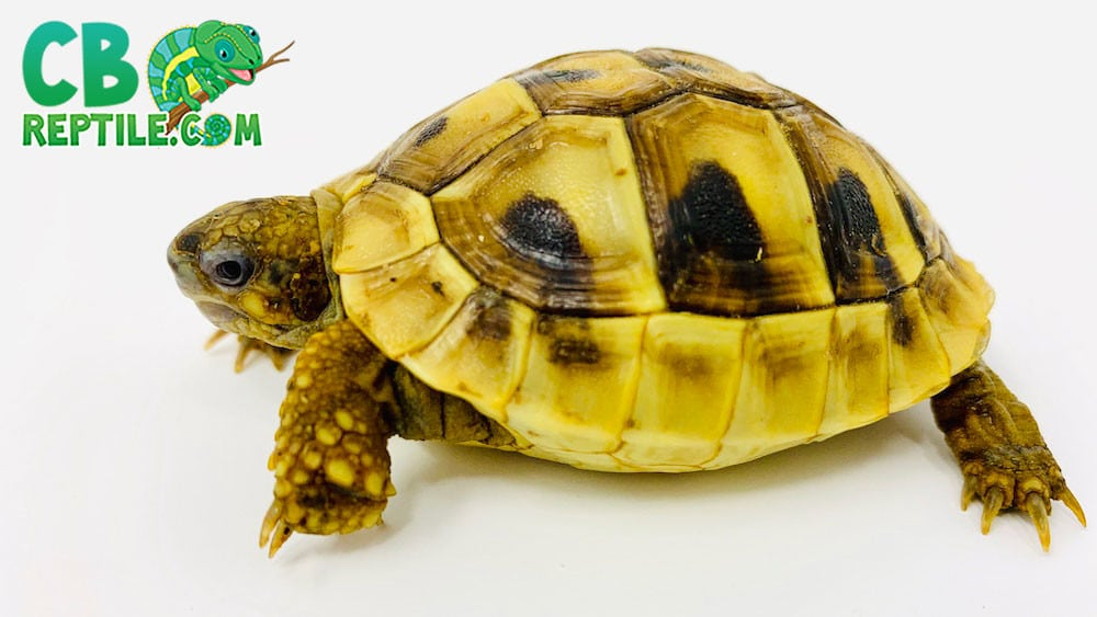 Eastern Hermanns tortoise for sale