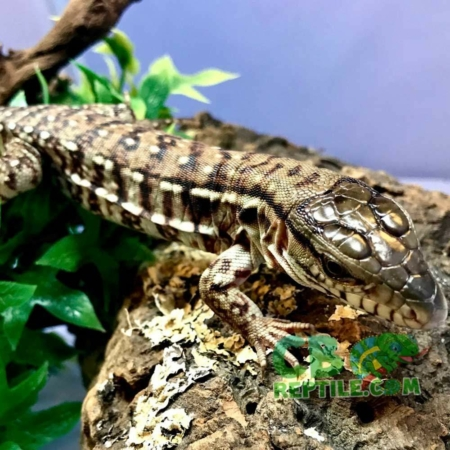 red argentine tegu for sale