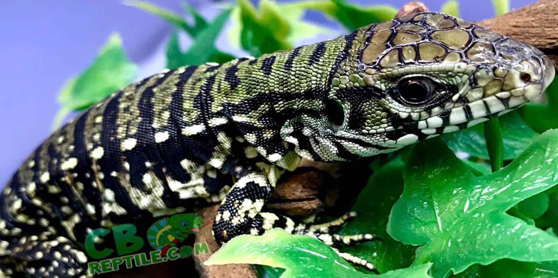 Tegus for Sale | CB Reptile | Geckos for sale | Chameleons
