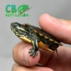 baby Southern Painted Turtles