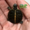 Southern Painted Turtles for sale
