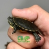 baby Southern Painted Turtles for sale