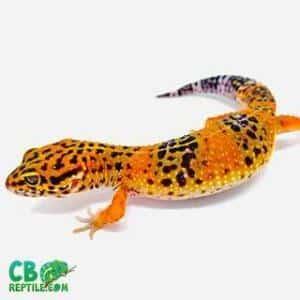 geckos for sale online | baby gecko for sale leopard gecko