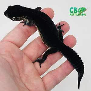 black night leopard gecko for sale