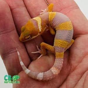 blood albino leopard geckos