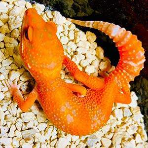 blood leopard geckos