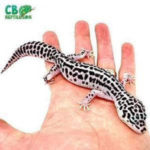 mack snow leopard geckos