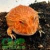 strawberry albino pacman frog