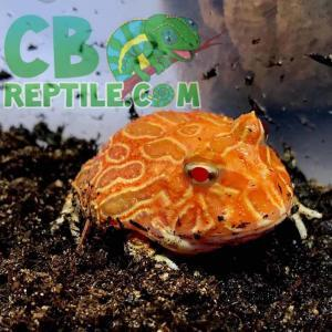 strawberry albino pacman frog for sale