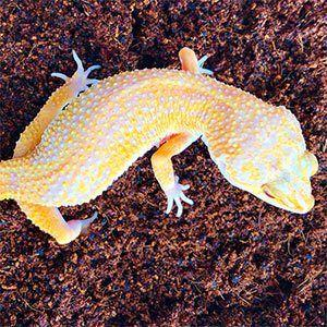 Sunglow gecko for sale
