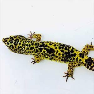 supergiant leopard gecko for sale